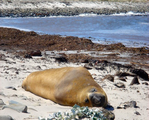 Elephant seal Falkland Islands