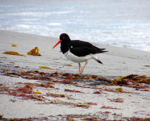 Oystercatcher Falkland Islands