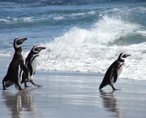 Falkland Islands Magellanic Penguins