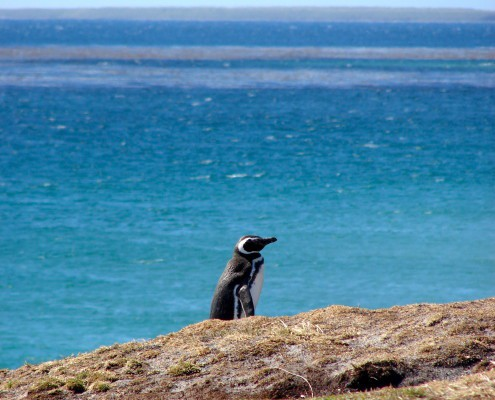 Magellanic Penguins Falkland Islands