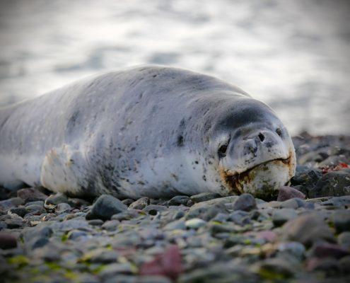 Leopard Seal antarctica 60 minutes