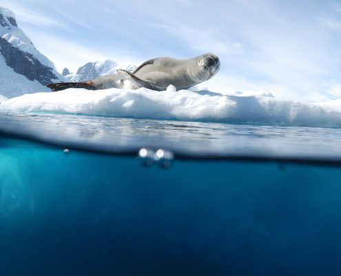 Leopard seal Antarctica above and below