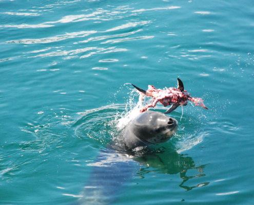 Leopard seal Antarctica kill