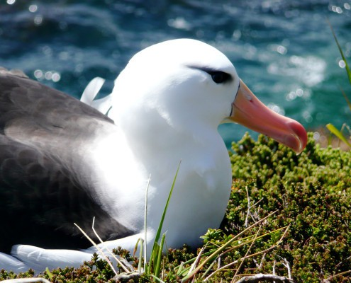 Blackbrowed albatross