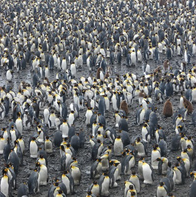 King Penguin colony Salisbury Plain Island of South Georgia