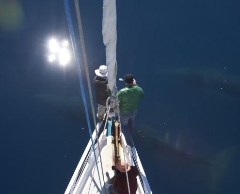 yacht Australis minke whale watching in Antarctica